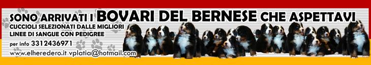 Cuccioli Bovari del Bernese